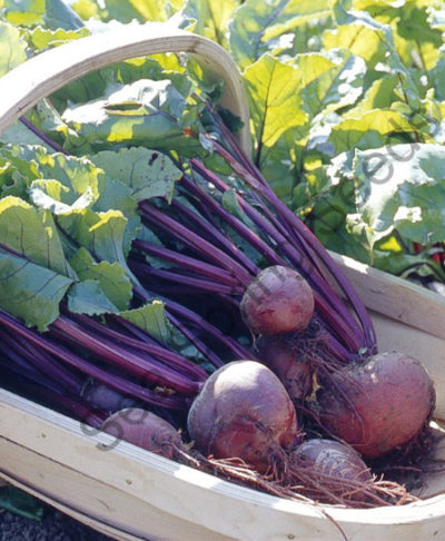 Boltardy beetroot