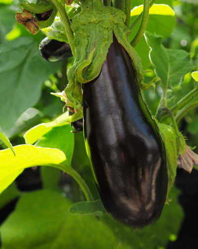 Bonica aubergine seeds