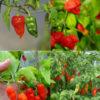 All superhot chillies