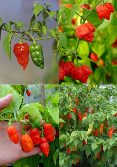 All superhot chillies