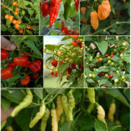 A collection of habanero chillies