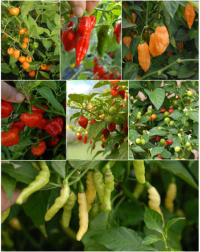 Assorted habanero chillies