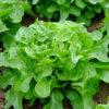 Bridgemere lettuce