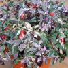 A Calico chilli plant