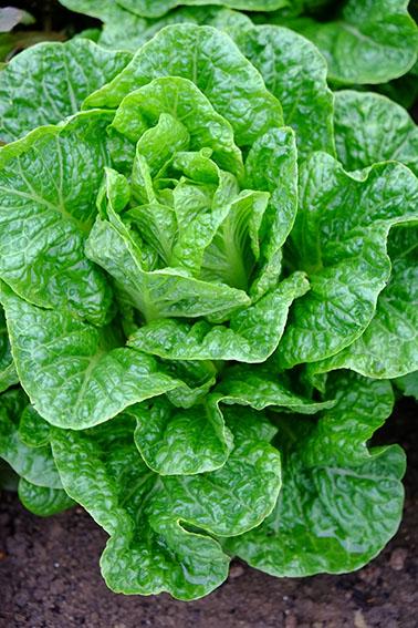 Chatsworth lettuce