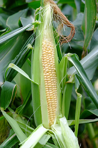 Goldcrest sweet corn