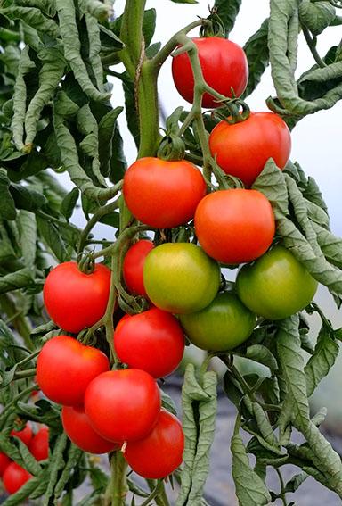 Orkado tomato