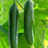 Passandra cucumber