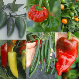 A collection of veg-type chillies