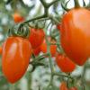 apricot dream tomato