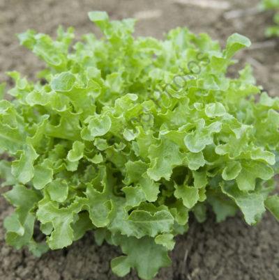 ashbrook lettuce