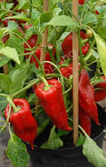 beja sweet pepper