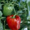 bell boy sweet pepper