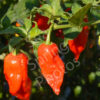 bengle naga chilli