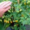biquinho yellow chilli