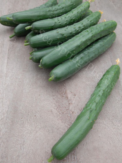 burpless tasty green cucumber