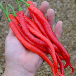 Chilli seeds: spice-types