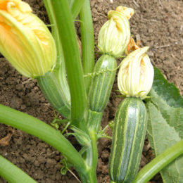 Courgette & marrow seeds