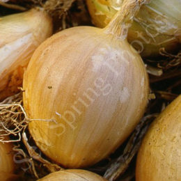 Onions and shallot seeds