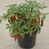 cayennetta chilli plant