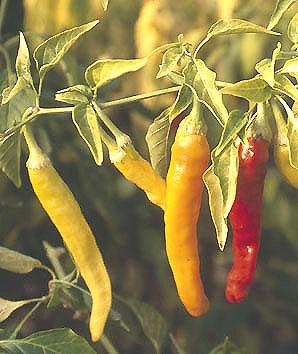 charlston hot chilli