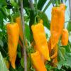 corno di toro yellow sweet pepper
