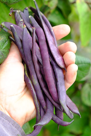 cosse violette french bean