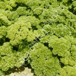 Parsley (curly-leafed) var. Bravour