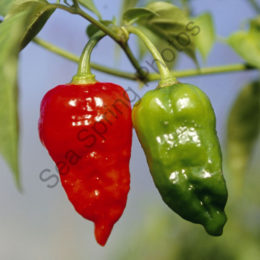 Dorset Naga fresh chillies (500g)