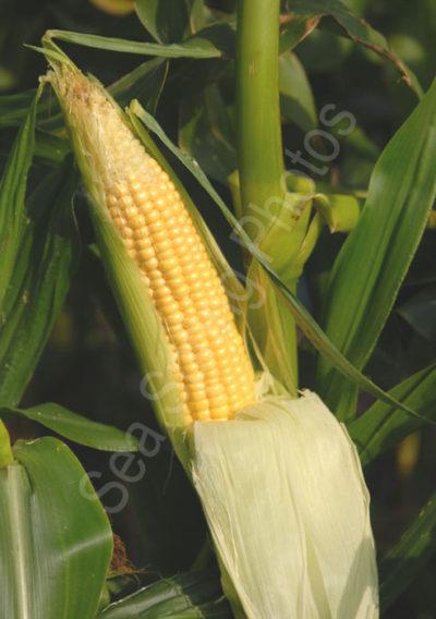 earlibird sweetcorn