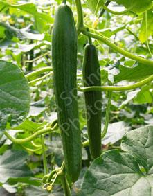 euphya cucumber