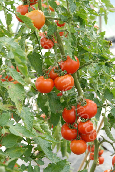 ferline tomato