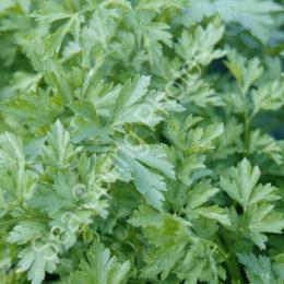 Plain leaf (French) parsley
