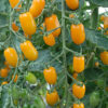 golden sweet tomato