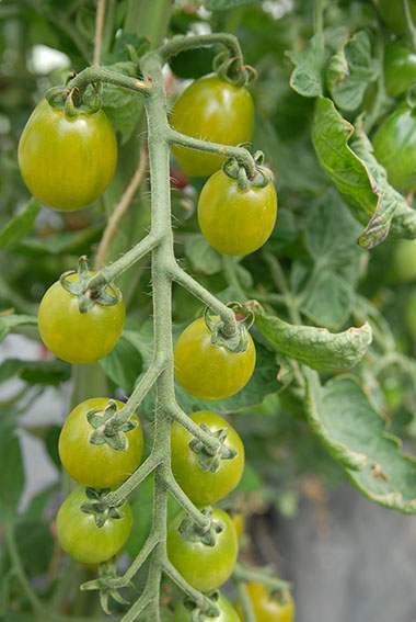 green envy tomato