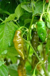green trinidad chilli is a mild habanero