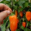 hamik sweet pepper