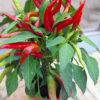Hot Juanita chilli