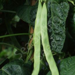 Hunter French bean