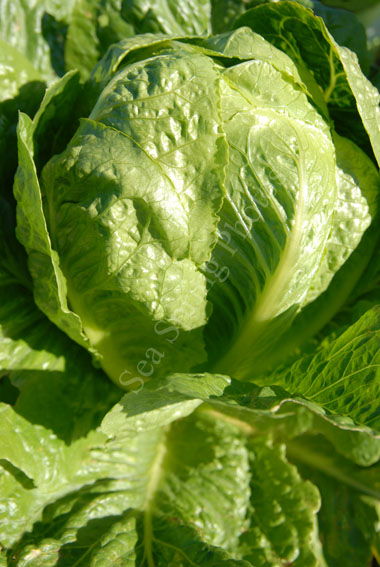 lobjoits green cos lettuce