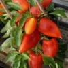 mira sweet pepper