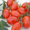 modus tomato