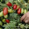 nova tomato