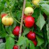 ontara sweet pepper