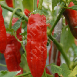 Piment Curry