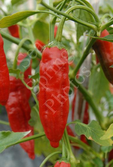 piment curry chilli