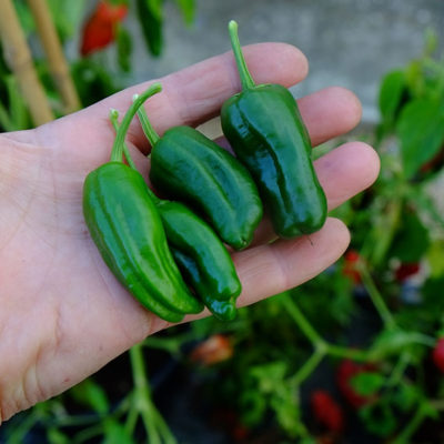 Padron chillies picked at the immature stage for the Spanish tapas