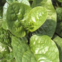 Poi Saag (aka Malabar Spinach)