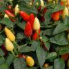 prairie fire chilli