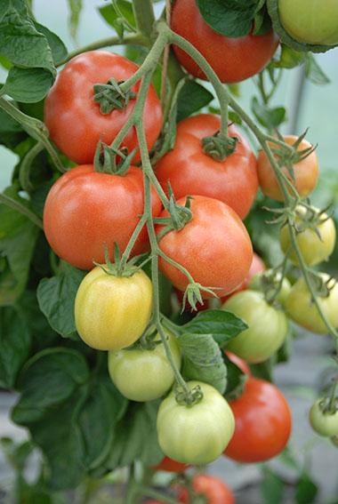 Tomato var. Malinowy Ozarowski